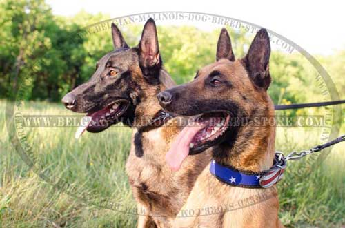Malinois Leather Collar With Fancy Design