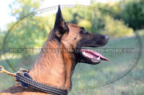 Easy Walking Belgian Malinois Leather Collar