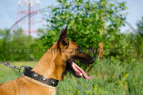 Superb Belgian  Malinois Leather Collar