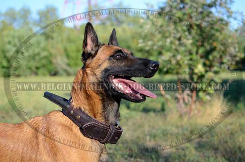 Walking Belgian Malinois Leather Collar
