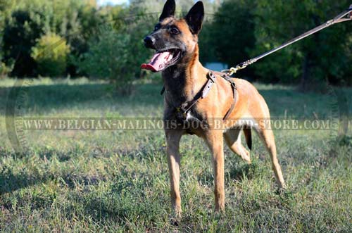 Comfortable Belgian Malinois Dog Harness