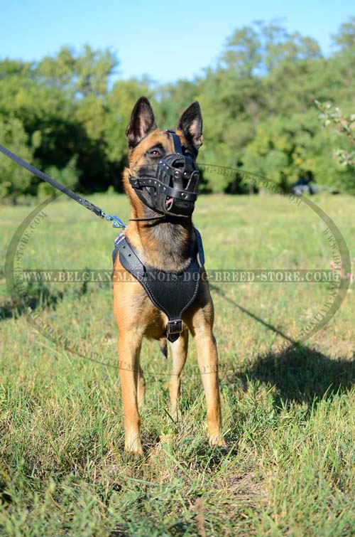 Exclusive Belgian Malinois Dog Leather Harness