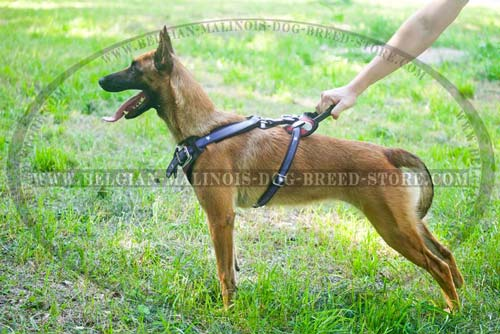 Padded Back Plate on Malinois Leather Harness