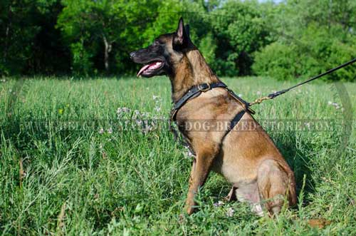 Belgian Malinois Leather Harness with Studs