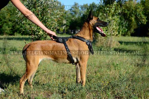 Belgian Malinois leather harness for walkin and training