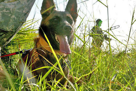 Belgian Malinois Davy in Afghanistan
