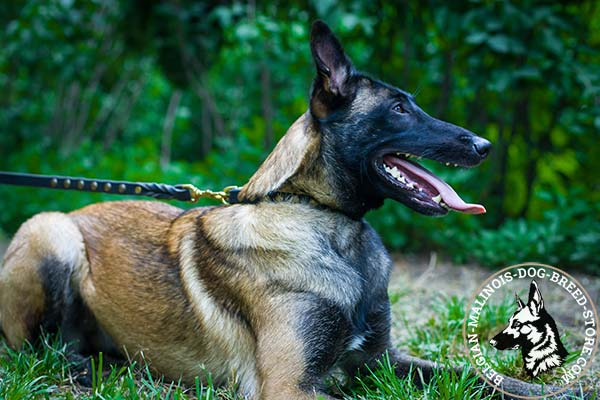 Belgian Malinois leather leash of classy design with handset decoration for improved control