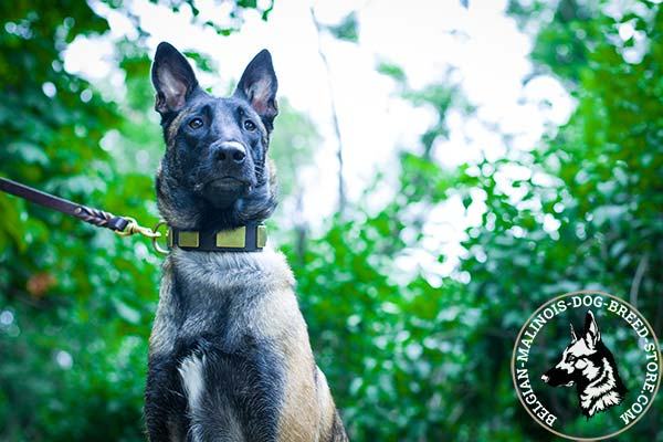 Belgian Malinois leather leash with braids with brass plated hardware for professional use