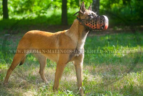 Exclusive Muzzle for your Belgian Malinois