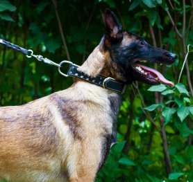 Belgian Malinois. Dog's basic needs.