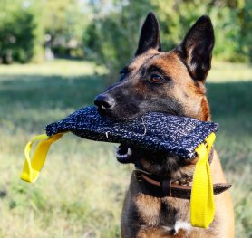 Belgian Malinois. History of the breed.